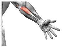 Мышцы на руке