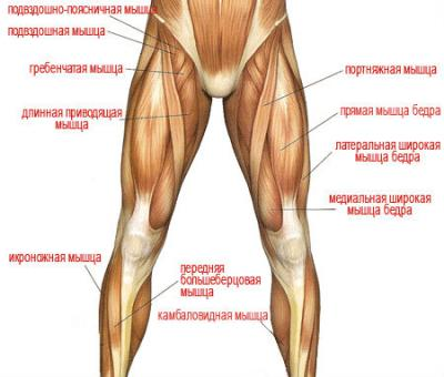 мышцы нижних конечностей