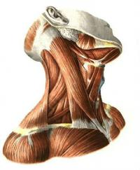 Шейные мышци