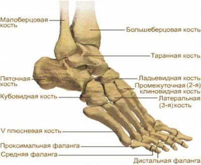 Строение скелета стопы