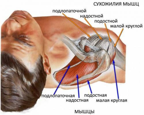 Ротаторная манжета плеча
