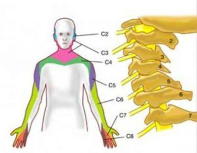 Шейные корешки спинного мозга