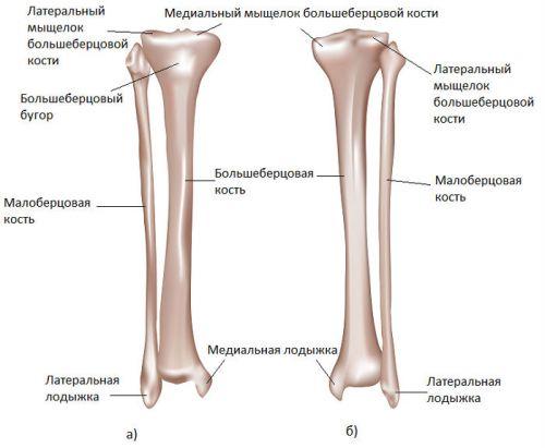 Строение ноги человека голеностоп