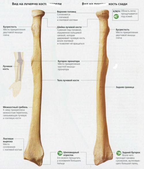Лучевая кость