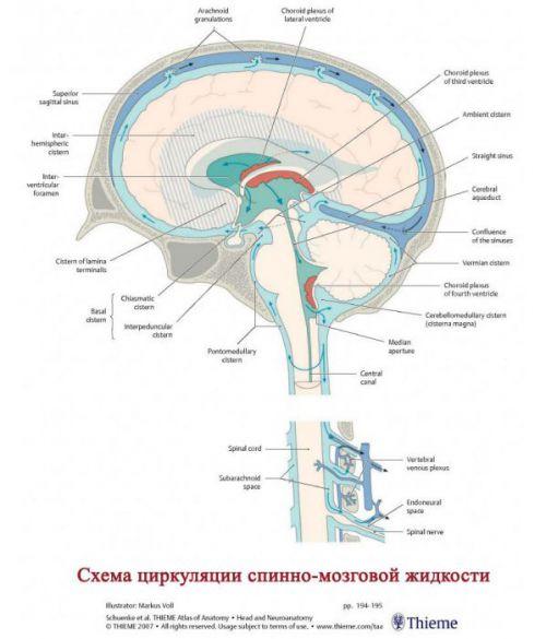 Схема циркуляции ликвора