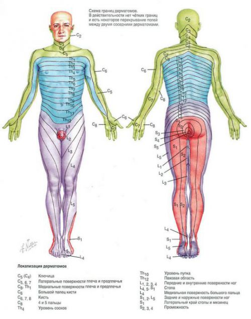 Схема иннервации тела