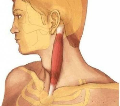 Кивательная мышца