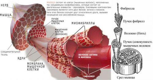 Процесс сокращения мышцы