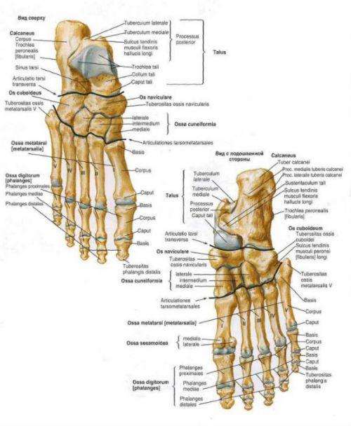 Кости и суставы стопы