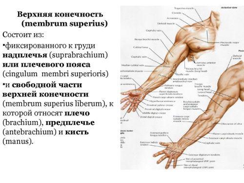 Изображение - Крепление мышц плечевого сустава mishci-plch-1-500x375