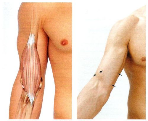Плечевая мышца