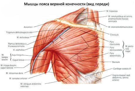 Изображение - Крепление мышц плечевого сустава mishci-plch-7-460x312