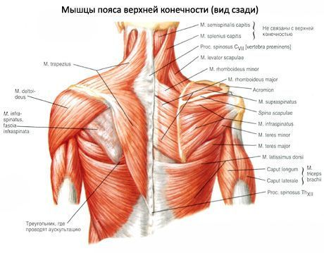 Изображение - Крепление мышц плечевого сустава mishci-plch-8-460x359