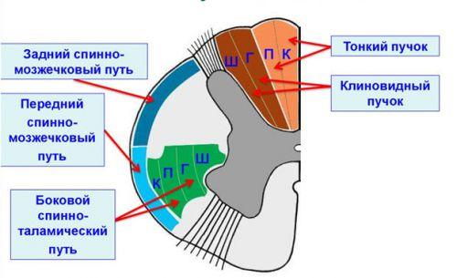 Восходящие пути спинного мозга