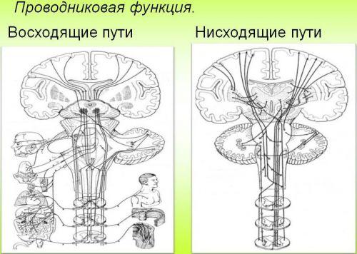Проводниковая функция спинного мозга