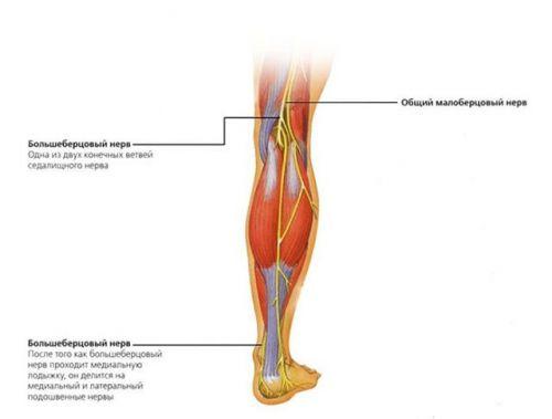 Артерия и вена под коленом