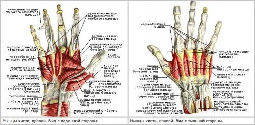 Мышцы правой кисти