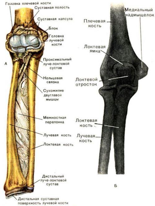Строение лучевой и локтевой костей