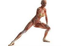 Мышцы и связки тела